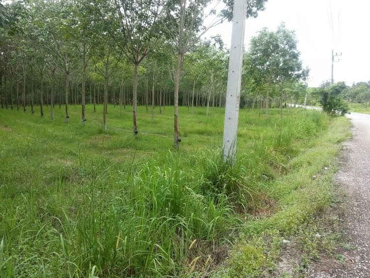 Land 3 Rai with rubber trees at Naklua Kantang
