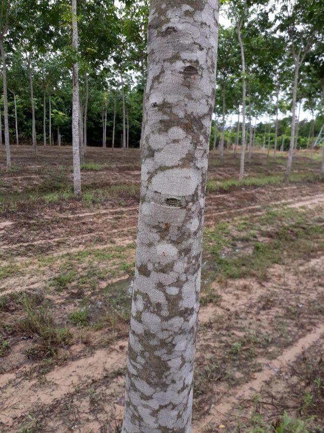 Rubber Tree Farm - Plantation 21 rai 7 years old