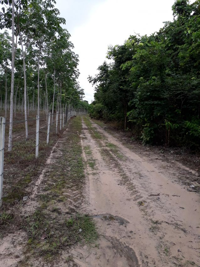 Rubber Tree Farm - Plantation 21 rai 7 years old