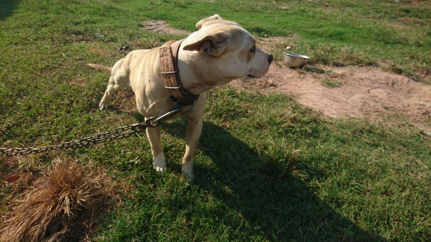 American Pit Bull Terrier Reluctant Sale