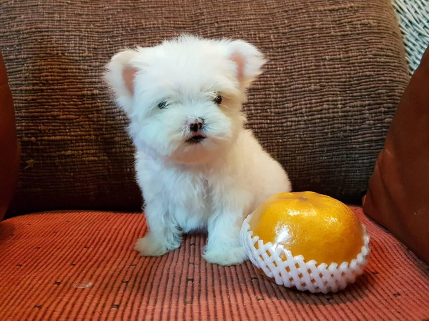 Maltese Puppies Male & Female for Sale