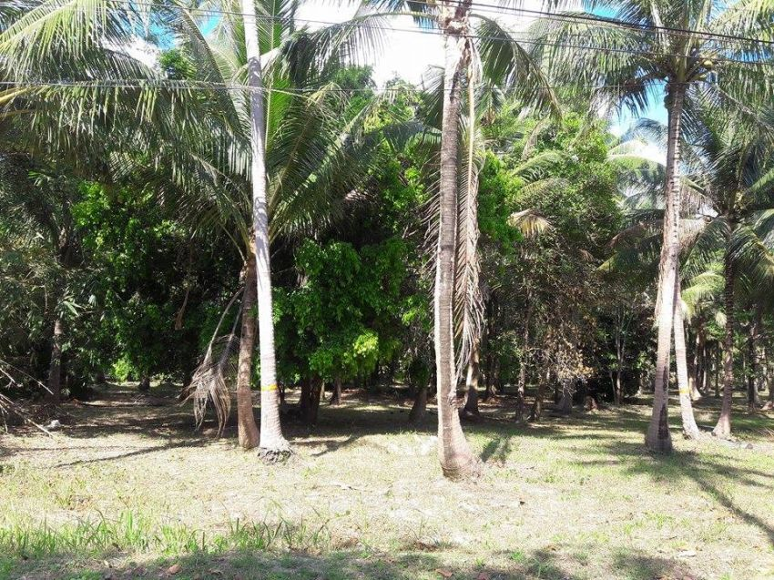 koh phangan 3 rai of coconut land for sale