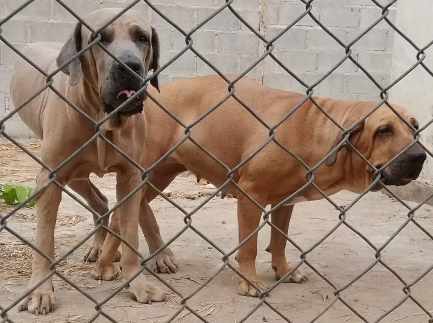 Fila brasileiro puppies soon