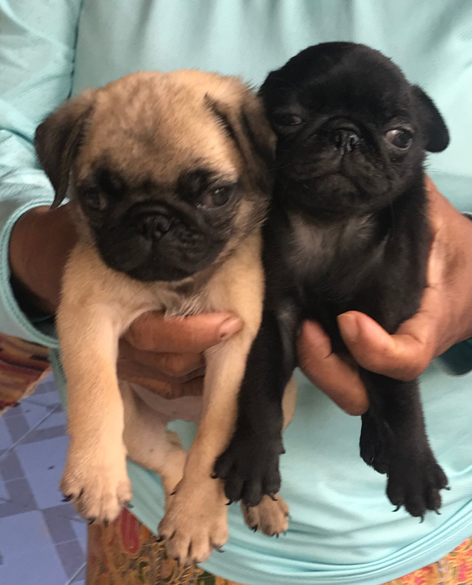 2 purebred pug puppies, 1 male, 1 female, delivery possible