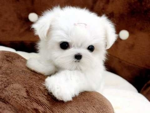 Male And Female Teacup Maltese Puppies For Rehomin