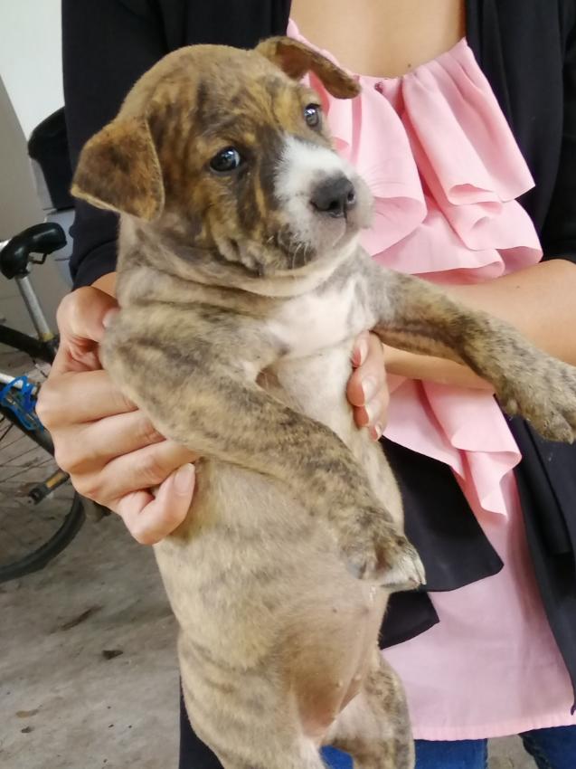 American bully puppies, 3500 baht