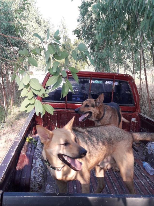 FREE guard dog Thailand