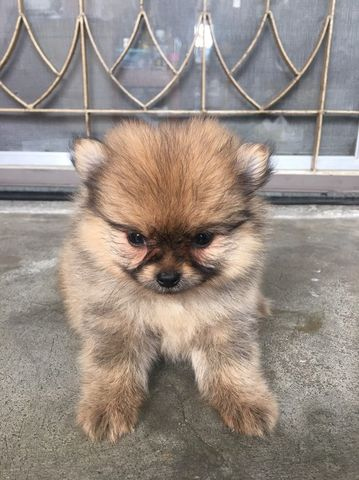 Pomeranian female puppy