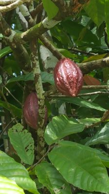 2 years old, very nice cocoa trees, make your own chocolate soon!