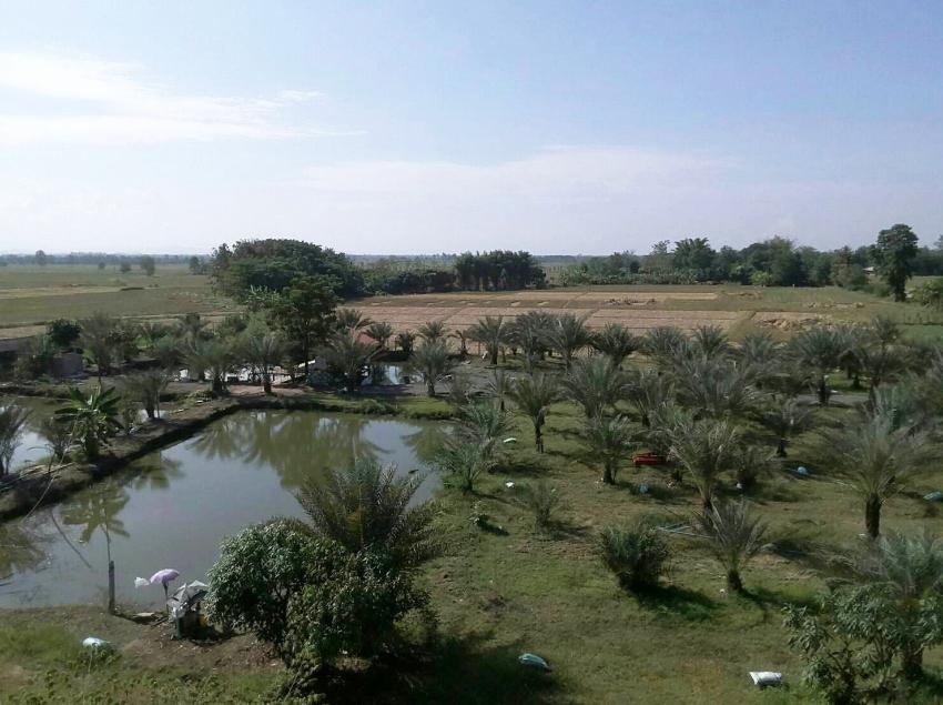 Date Palm Garden for sale in Doi Saket.