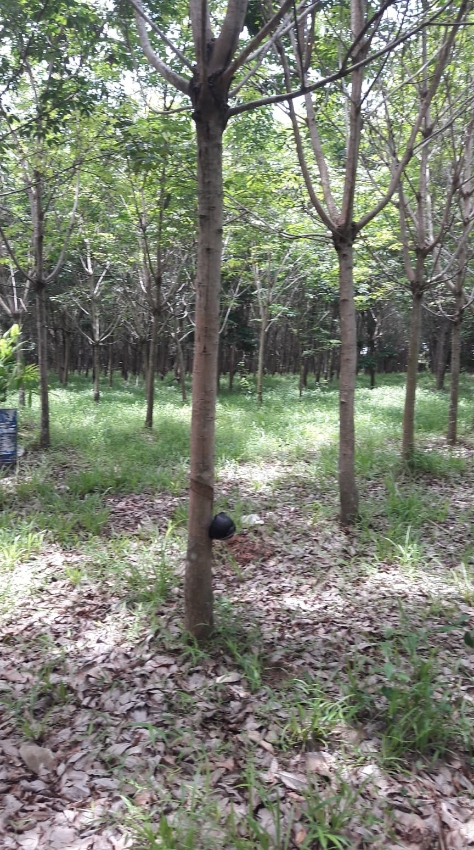 Land & Rubber Plantation for Sale in Udon Thani