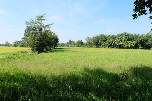Rice field in the convenience area in Doi Saket.