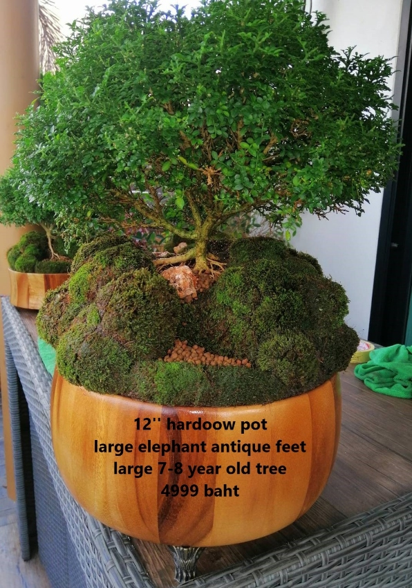 Bonsai Tree 10-inch Assorted Sizes from 990 baht