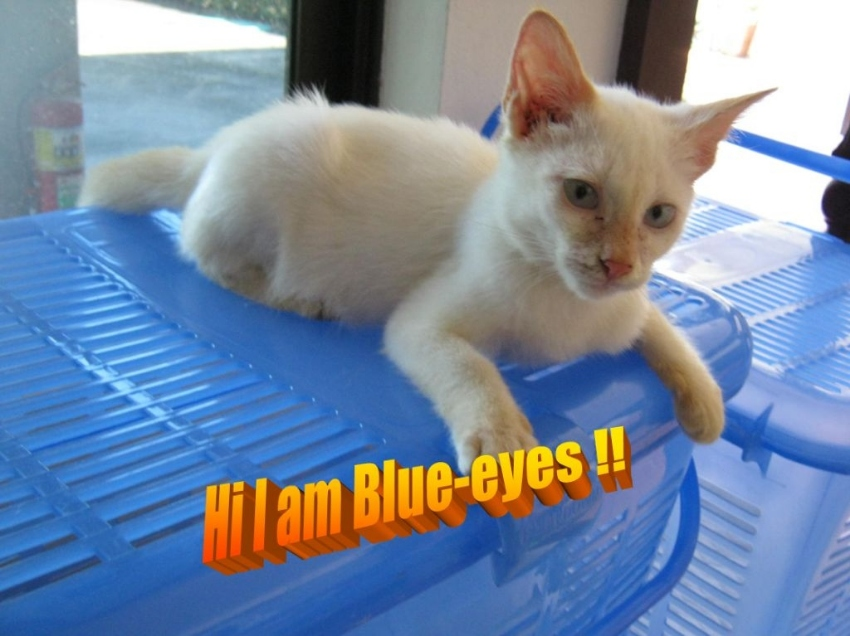 Free Cats And Kittens To Adopt In Pattaya