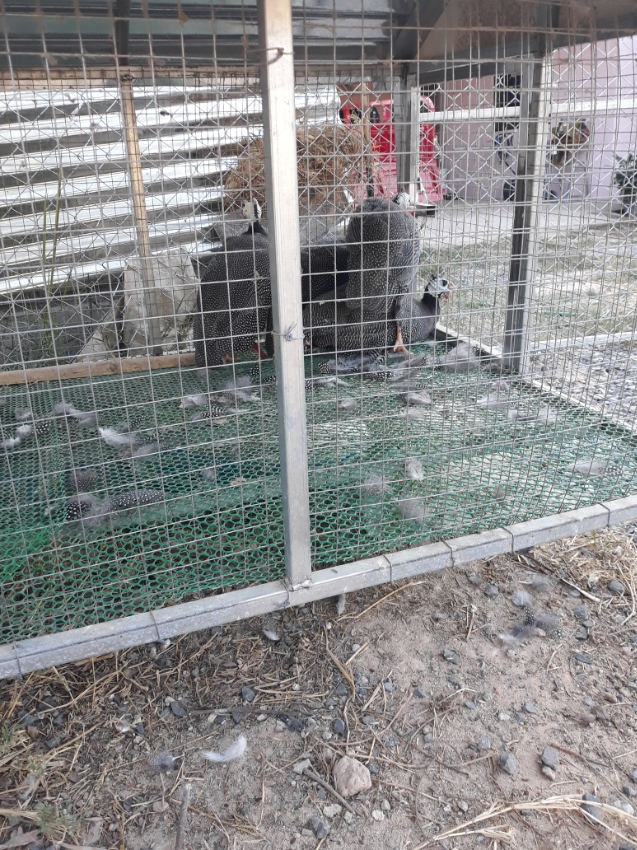 Guinea Fowls grey and white
