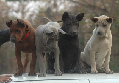 Thai Ridgeback Dog/Puppies moving ... all must be sold or given away.