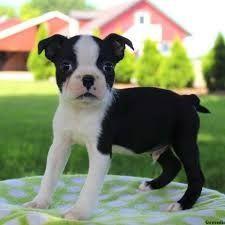 Puppies Boston terrier pups