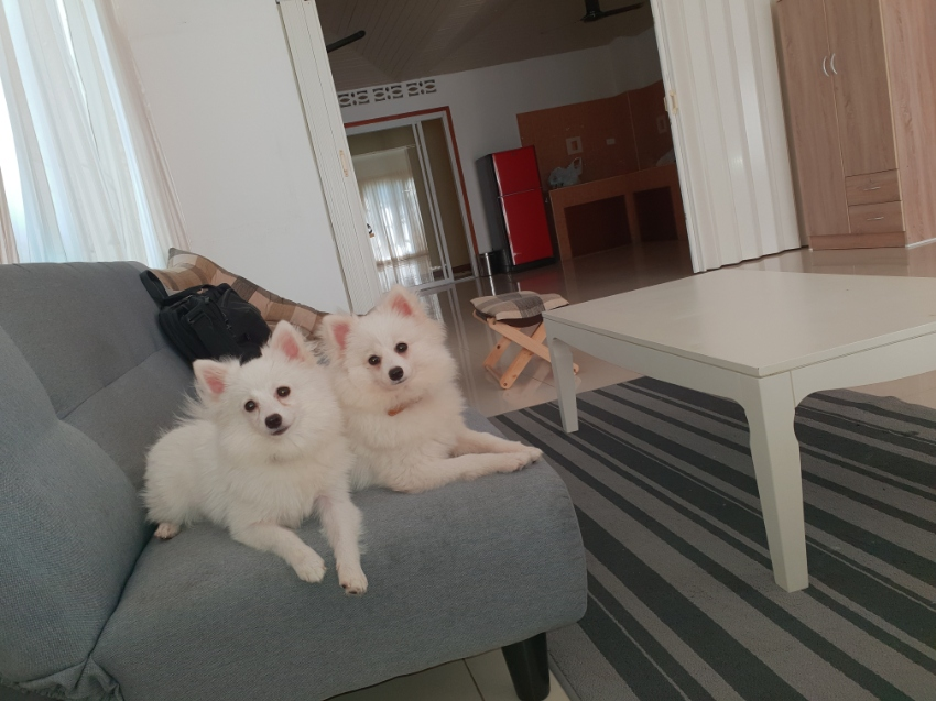 cute pomeranian spitz, chiped and vaccinated