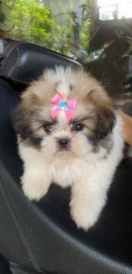 Puppies,  Pomeranian  (ShiTsu -Spitz)