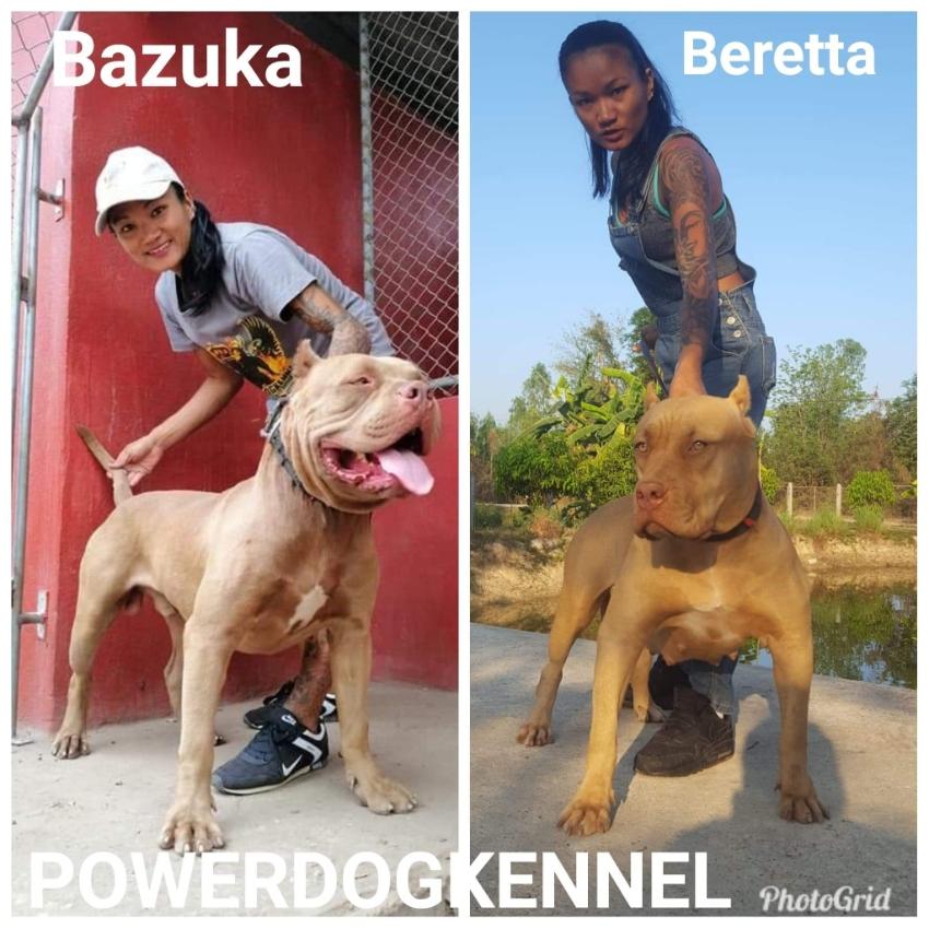 American Bandog Puppies with TPKC pedigree.
