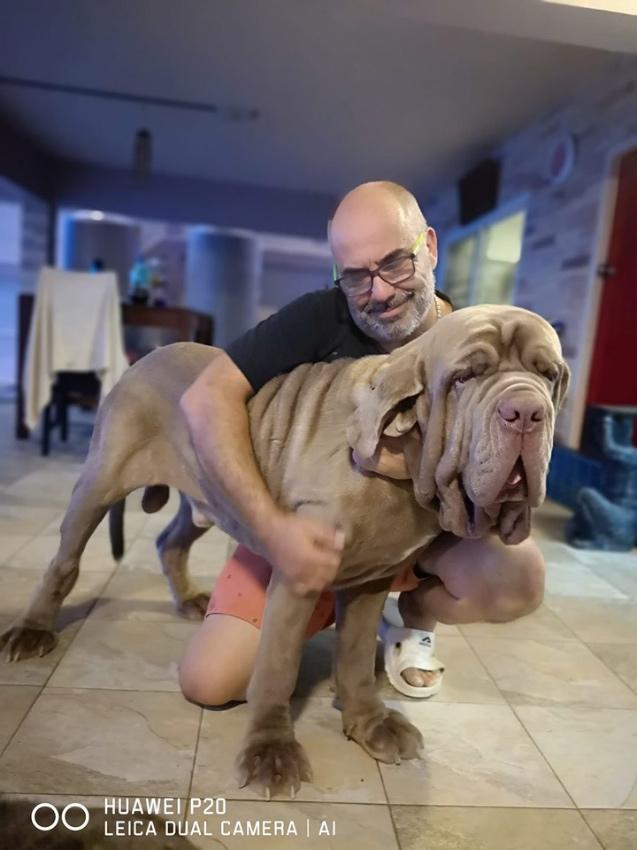 Neapolitan Mastif full international pedigree microchip vaccins pups