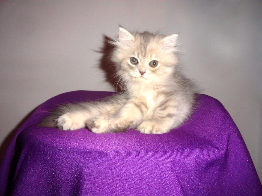 Purssian Kittens
