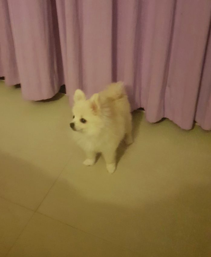 I sell the girl of a Pomeranian spitz-dog 6 months. Urgent because I a