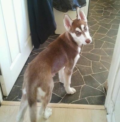 Siberain Husky Pup - Rehome