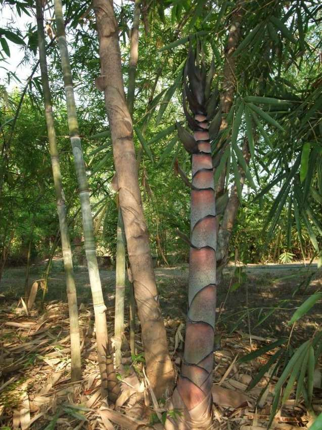 Tall bamboo species, Dendrocalamus copelandii, for free