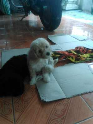 Labradoodle puppy wanted