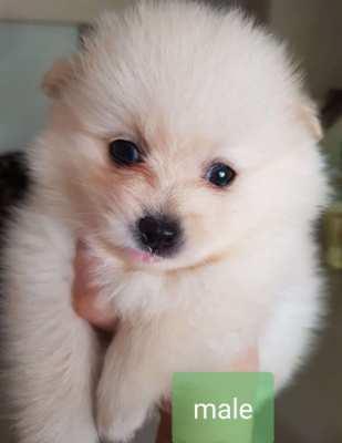 Pomeranian/home puppy