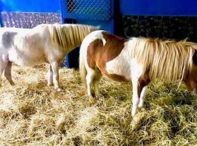 sheytland poney breeding pair
