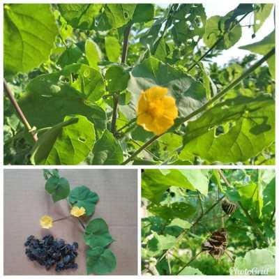 Non-GMO Seeds-Thai Herbs