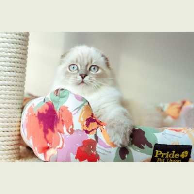 Pure breed kittens