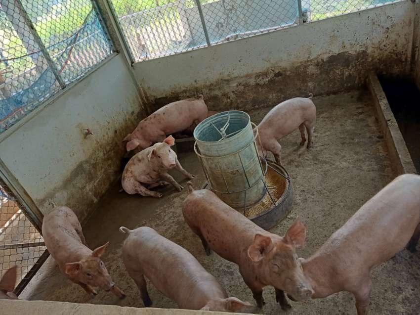 Porks / Pigs