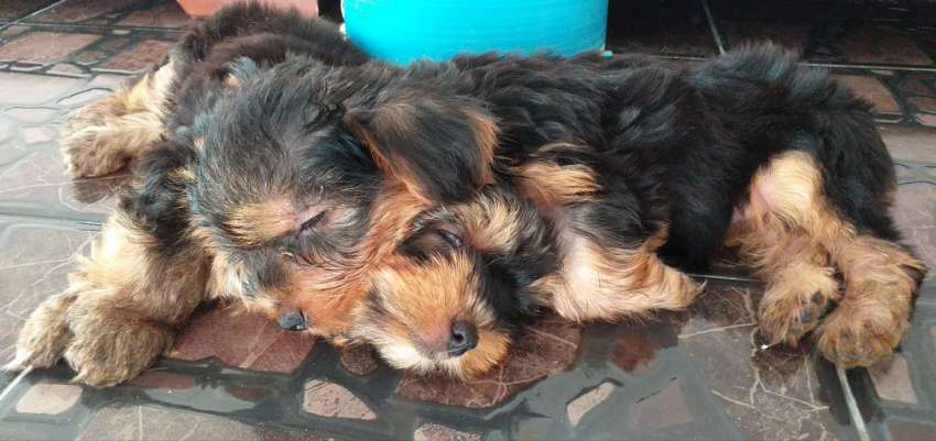 2 lovely females Yorkshires Puppies