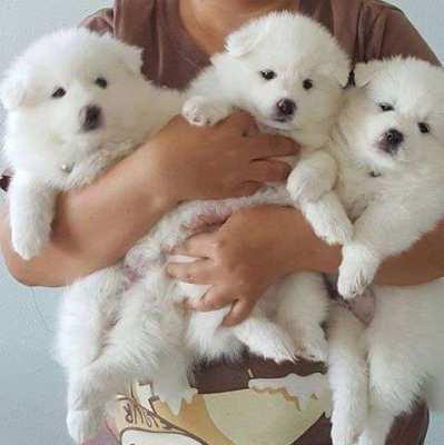 Japanese Spitz puppies (8 weeks)