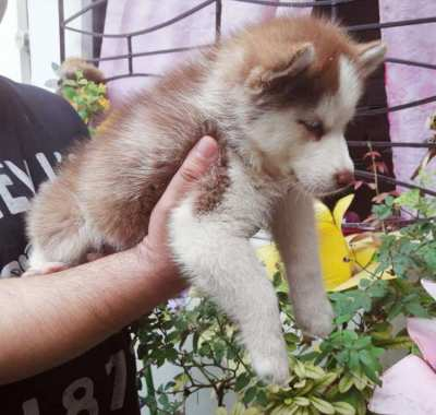 Male and Female Siberian Husky Puppies
