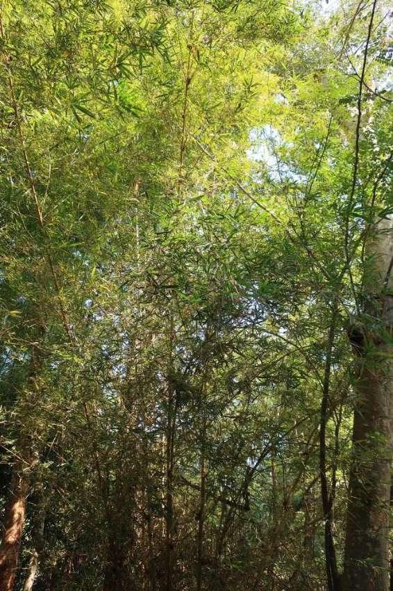 Bambusa pervariabilis 'Viridistriata'