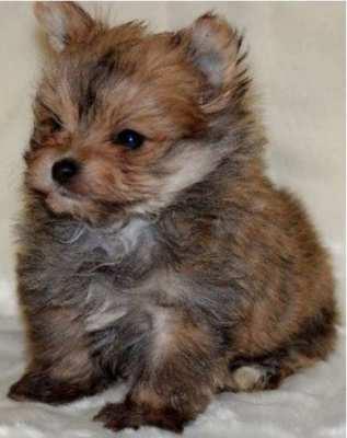 Yorkshire terrier x Pomeranian puppies