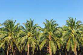 Sells coconut or palm tree...