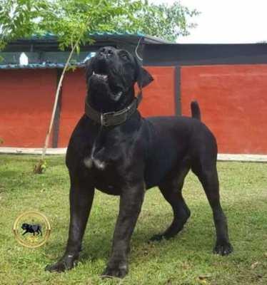 Black South African Boerboel Puppies