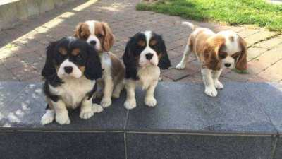 ADORABLE Pedigree Cavalier King Charles Puppies