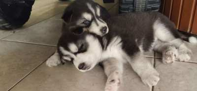 ONLY 1 FEMALE LEFT Husky Puppies born 25th December 2019