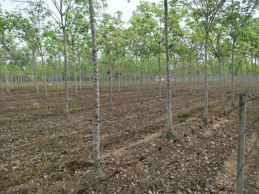 Rubber Tree Farm - Plantation 22 Rai 7 Year Trees