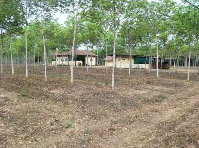 Rubber Tree Farm and House 22 Rai 7 Year Old Trees