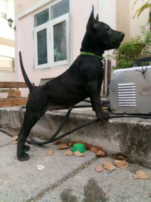 Black female Thai Ridgeback puppy