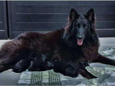 Belgian Shepherd Puppies - 3 girls & 2 boys born on 17th Feb