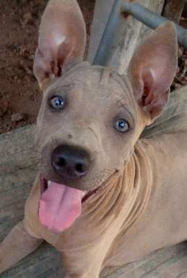 Thai Ridgeback Fawn Male Is For Sale
