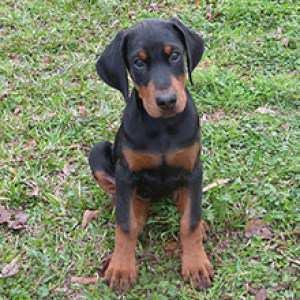 Doberman Pups 100% Pedigree
